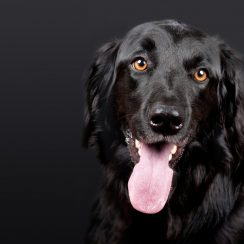 black-dog-pixabay